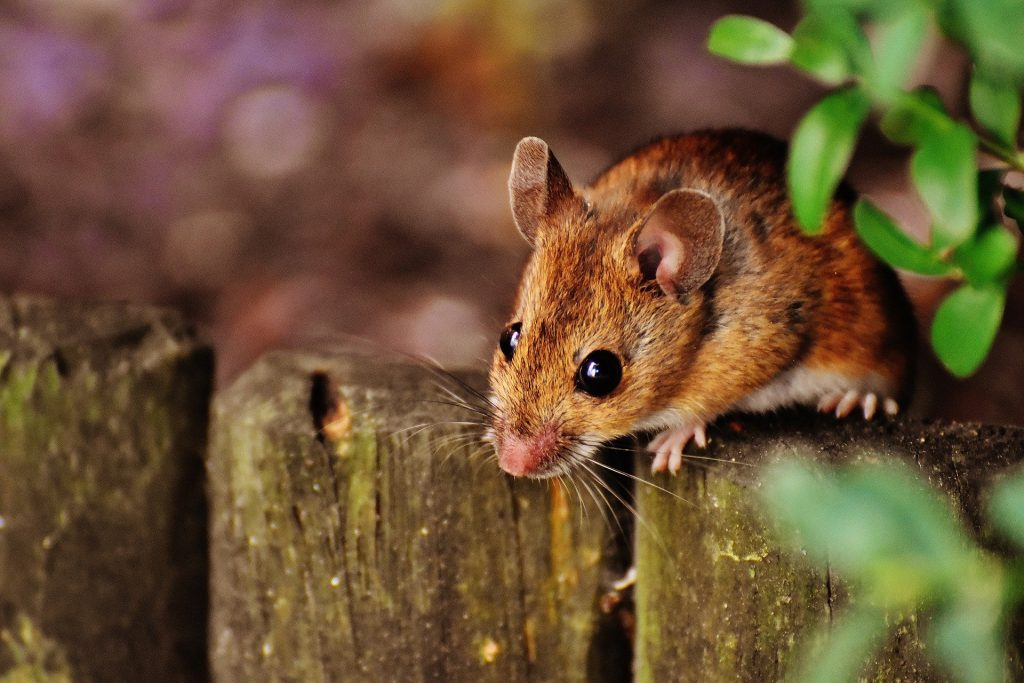 natur, mus, udenfor