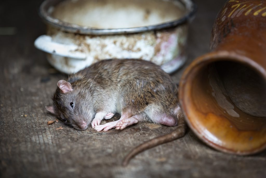 skadedyr, rotte, mus, sover